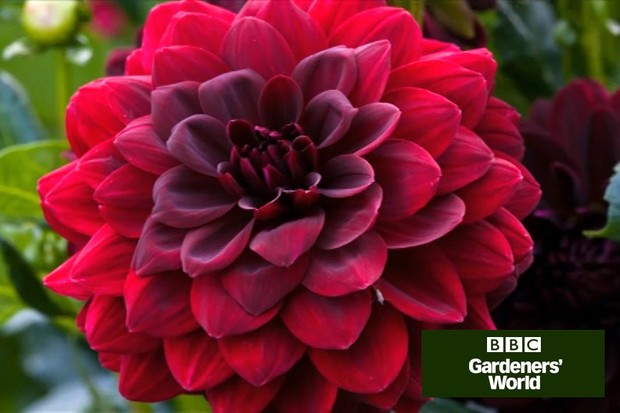 How to plant out dahlias