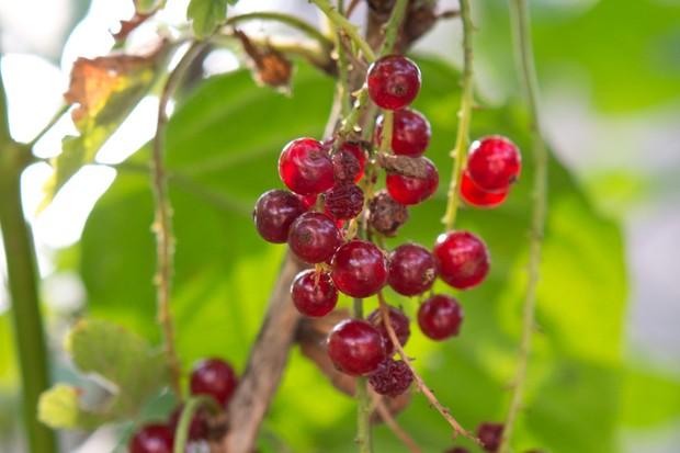 Redcurrants on the bush
