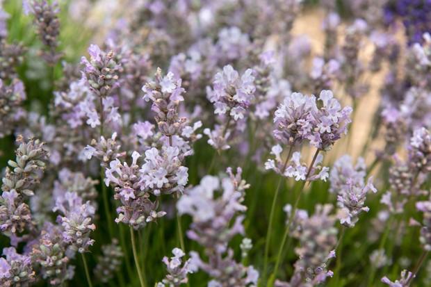 Best lavenders to grow - 'Little Lottie'