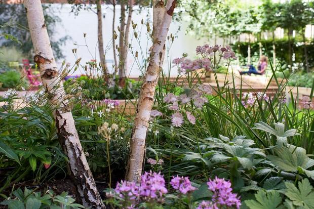 White trunks of silver birch beside pink flowers