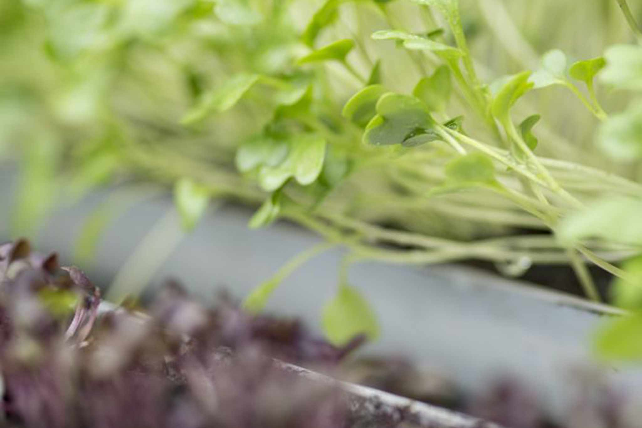 How to sow salad seeds in guttering