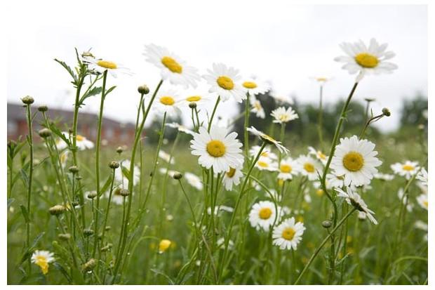 lawn-daisies-2