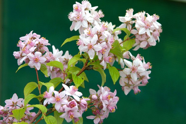Pale-pink flowers of Deutzia 'Mont Rose'