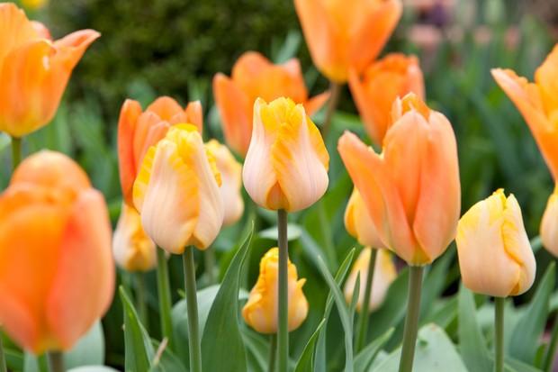 Soft orange blooms of tulip 'Orange Emperor'