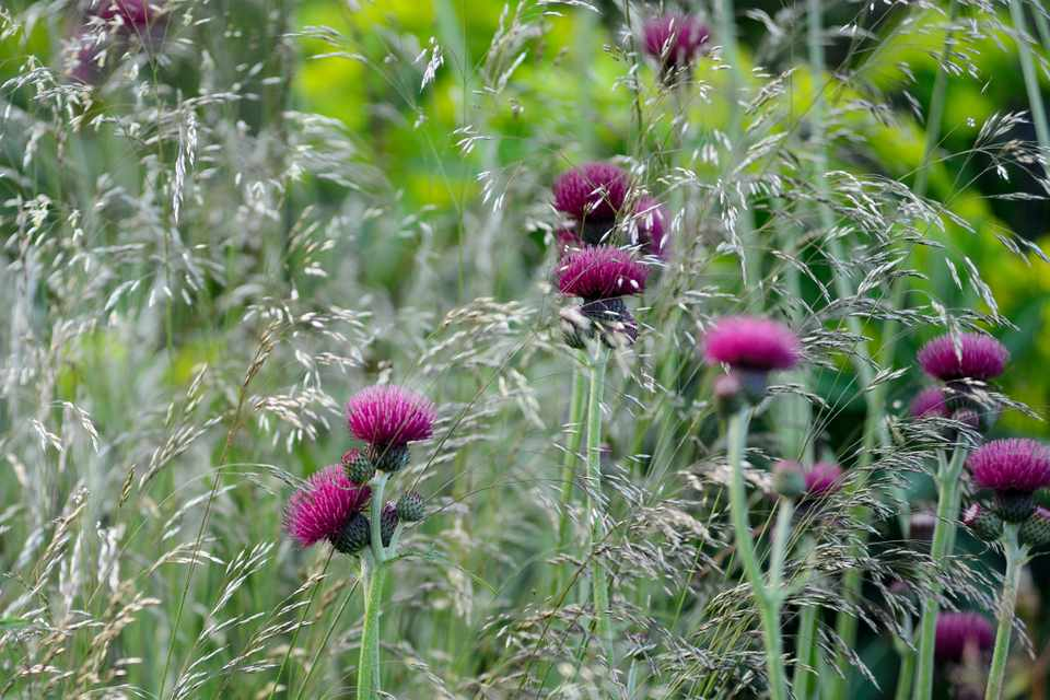 Cirsium rivulare and Deschampsia cespitosa