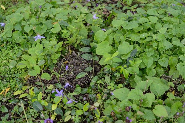 alternative-lawn-mix-for-a-shady-spot-with-campanulas-and-veronica