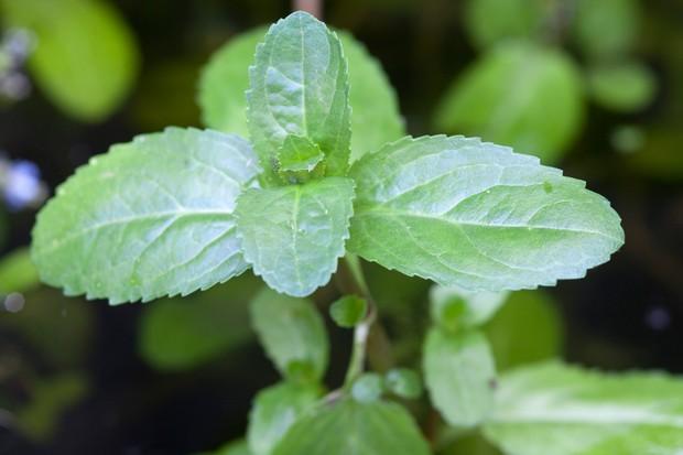 Oval leaves of brooklime