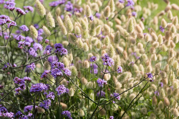 A mass of oval, cream bunny's tail grass flowerheads beside purple <em>Verbena bonariensis</em> flowers