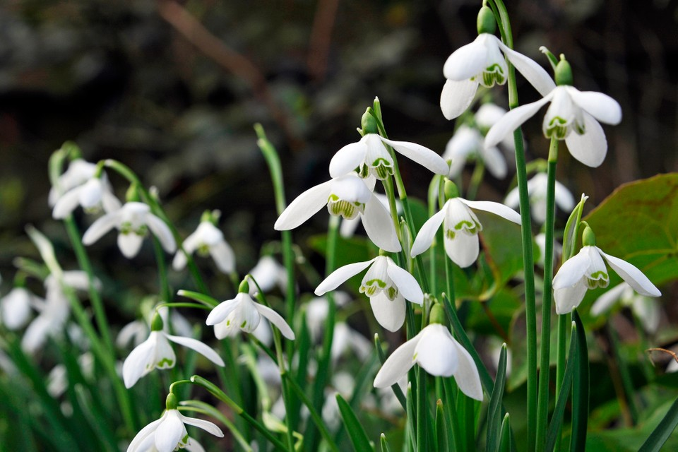 How To Plant Snowdrops Bbc Gardeners World Magazine