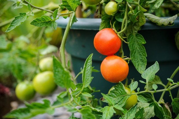 tomatoes-growing-in-a-container-2