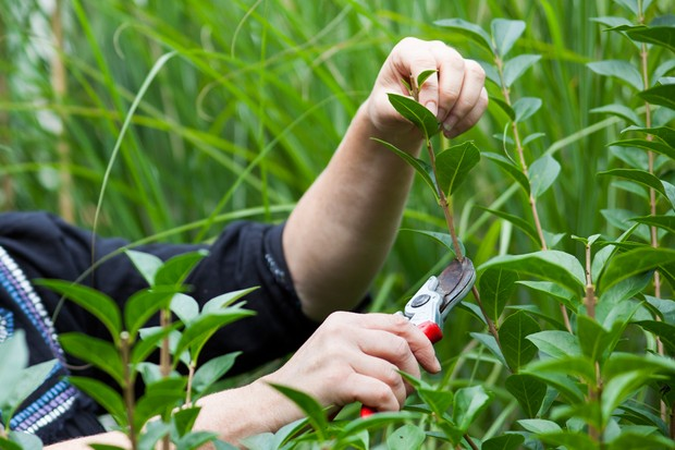 taking-privet-cuttings-2