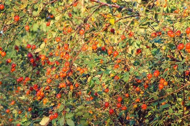 A mass of orange-red hips on a rambling Rosa filipes 'Kiftsgate'