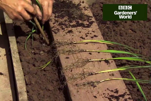 How to plant out young leeks