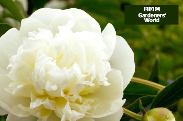 How to plant out peonies