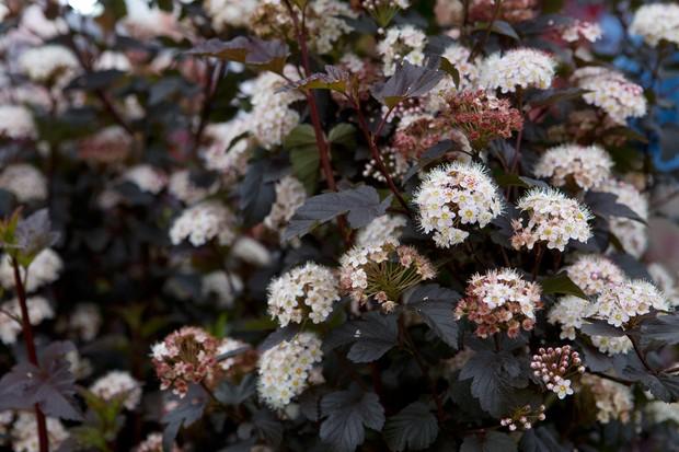 Ninebark, Physocarpus opulifolius 'Diabolo'