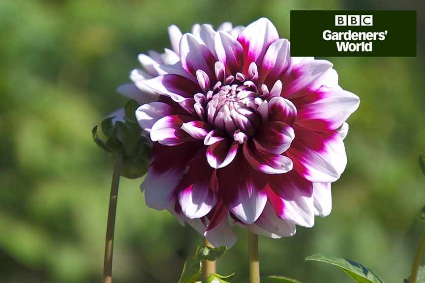 How to holiday-proof your dahlias video