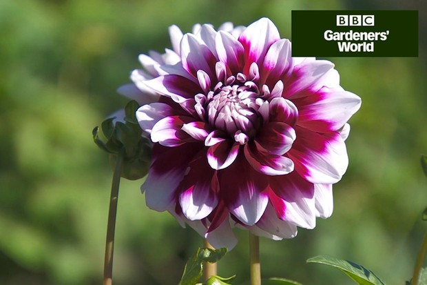 How to holiday-proof your dahlias