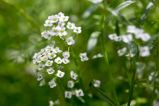 Tiny white flowers of sweet alyssum