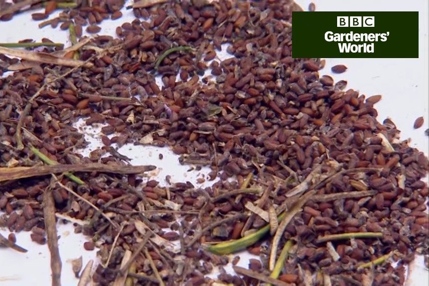 How to collect and sow astrantia seed video