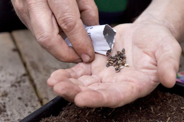 Growing perennials from seed - sowing the seed