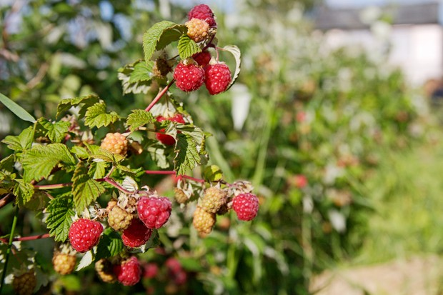 Ripening and ripe raspberries on a cane