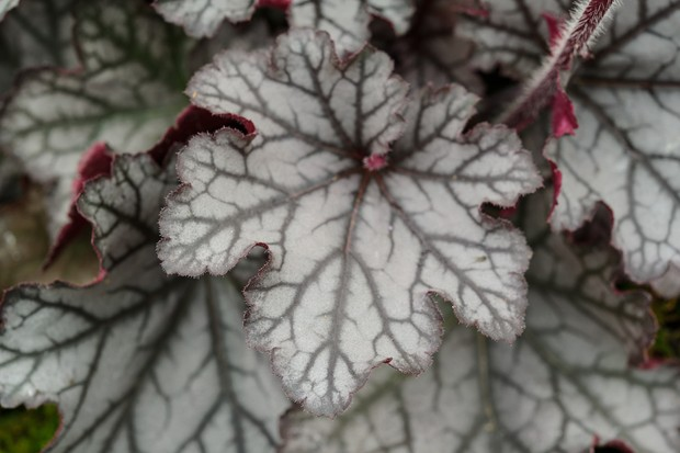 12-heucheras-and-heucherellas-to-grow-3