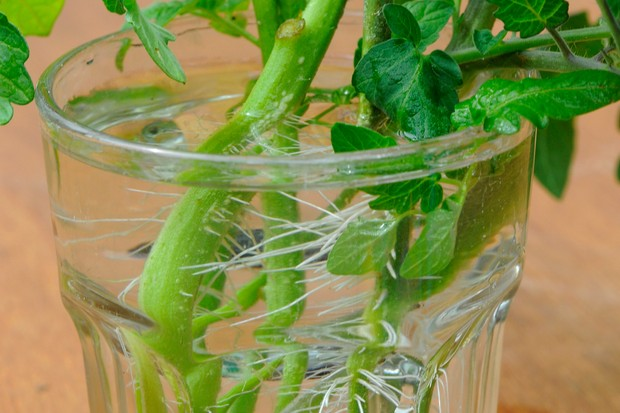How to grow tomato plants from cuttings - rooted cuttings