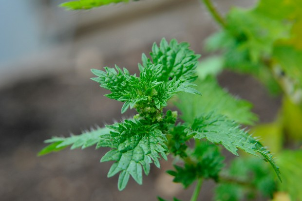 The tip of a nettle shoot