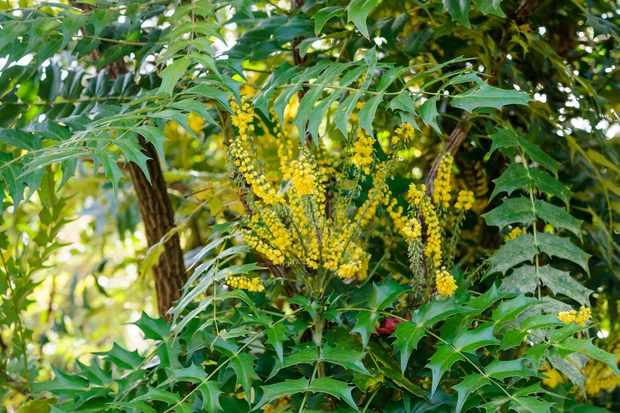mahonia-japonica-2