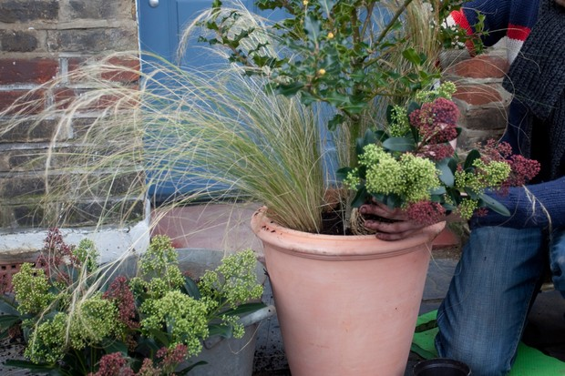 Planting the skimmias
