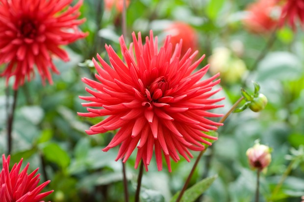 Red blooms of 'Doris Day' cactus dahlia, with spiky, inwards-curled petals