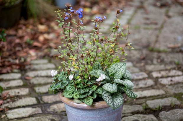 A pot planted with blue-flowering, tall ceratostigma and low, silvery brunnera and white-flowering cyclamen