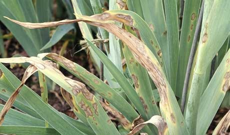 Iris with fungal leaf spot disease