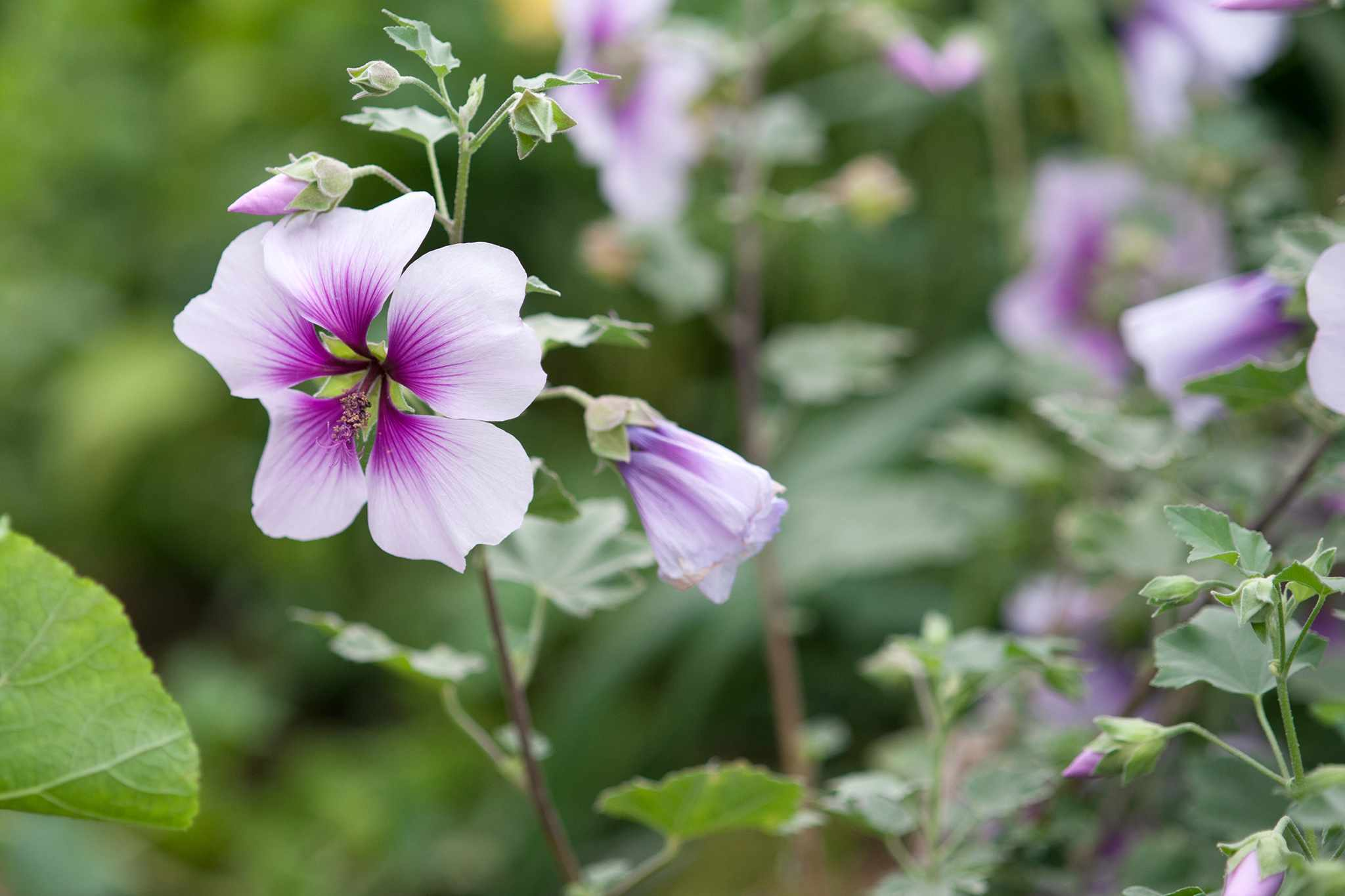 Mauve flowers of lavatera