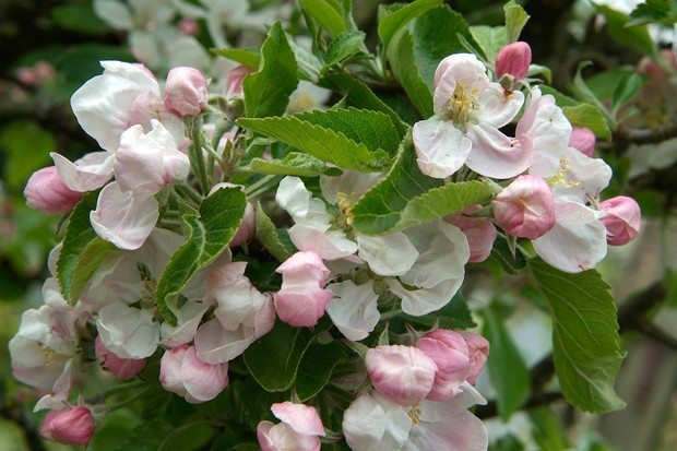 Pink and white apple blossom