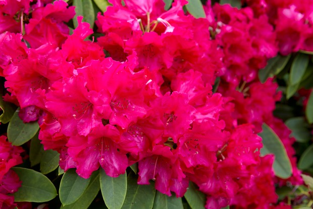 deep-red-rhododendron-2