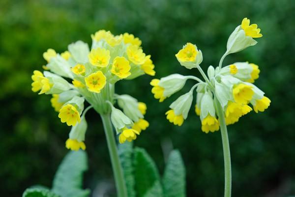 primula-veris-flowers-3