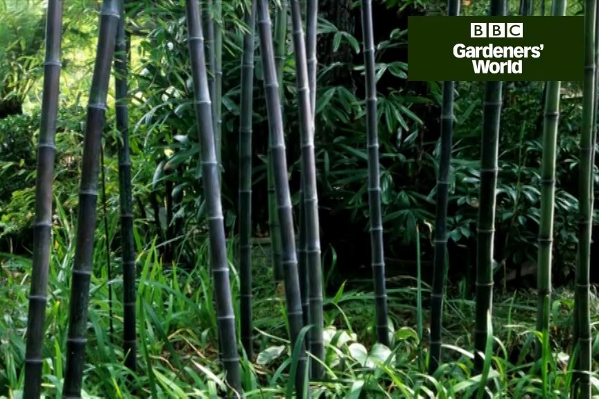 Growing Bamboo In Containers Video Bbc Gardeners World Magazine