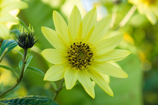 Pale-yellow flowers of sunflower 'Lemon Queen'