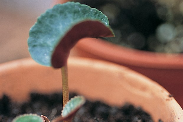 Potted cyclamen plant