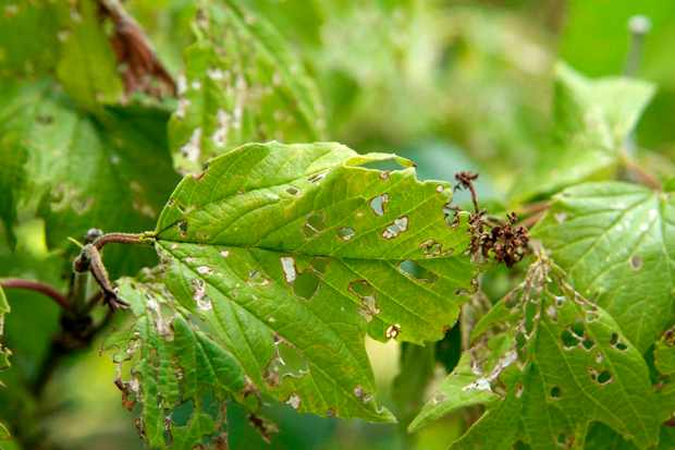 Apple leaves affected by winter moth