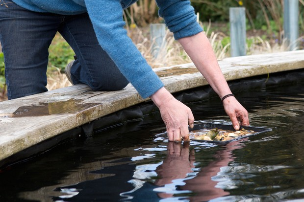 How to plant a water lily - placing the basket in the pond