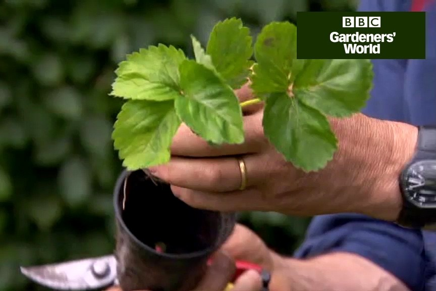 How to plant up a new strawberry patch video