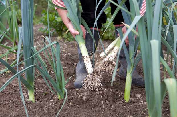 harvested-leeks-4