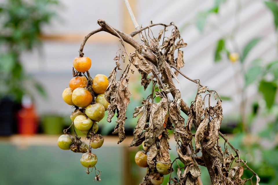 A blighted tomato plant with rotting fruit and withered leaves