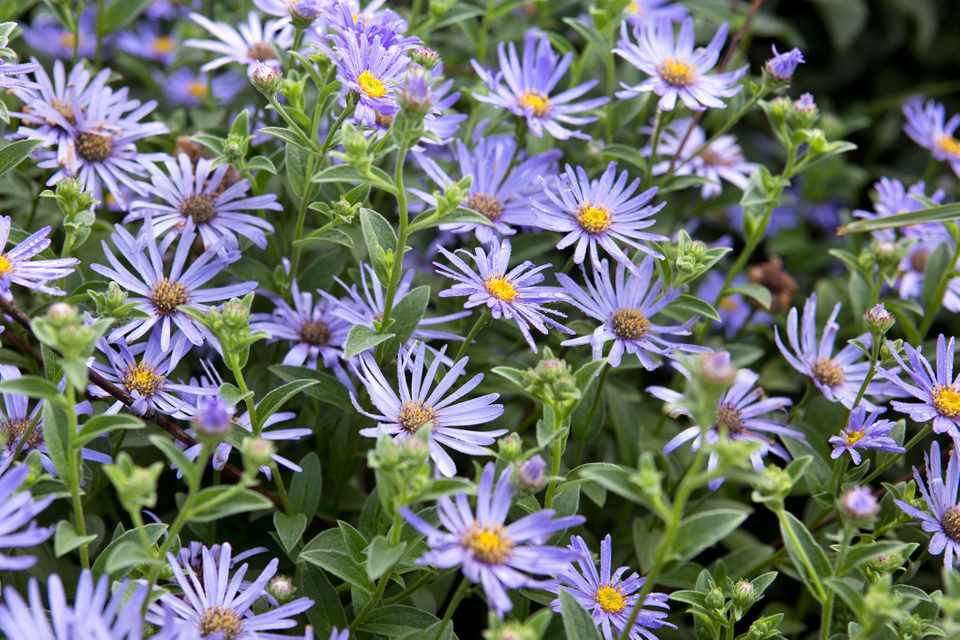 Lilac aster flowers