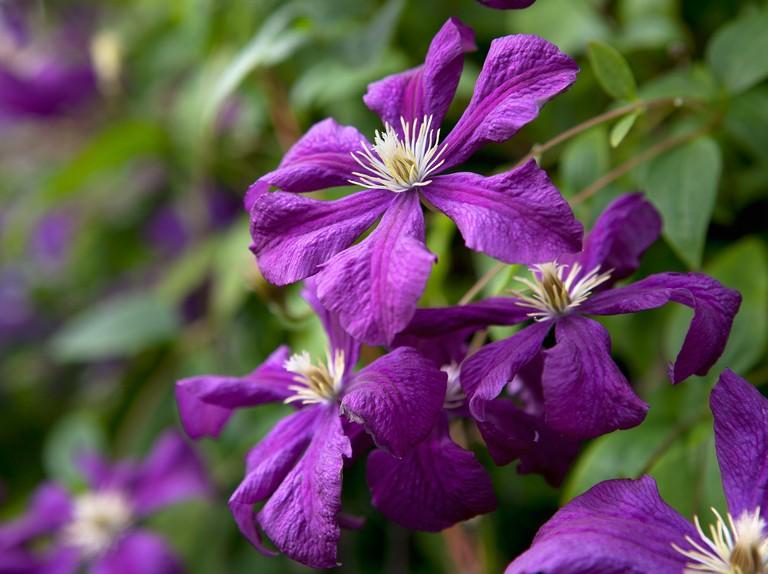 20 Plants With Purple Flowers Bbc Gardeners World Magazine