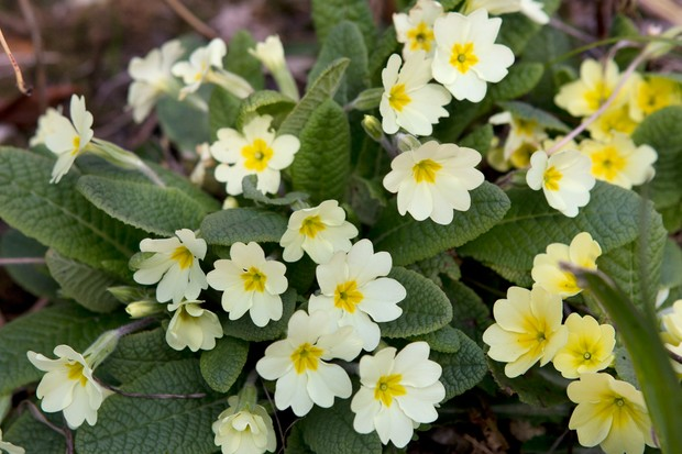 common-primrose-primula-vulgaris-2