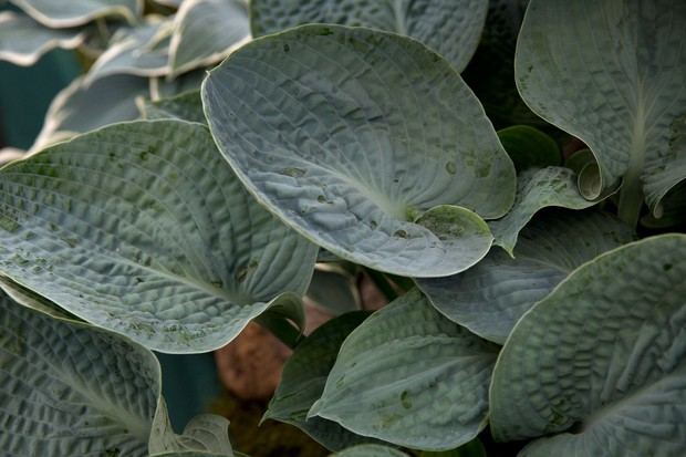 Hosta 'Love Pat': round smoky-blue leaves