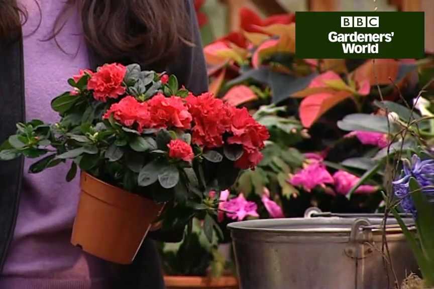 How to care for azaleas